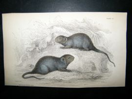 Jardine 1838 Antique Hand Col Print. The Black Water Rat